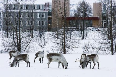Reindeer in center of Egilsstaðir